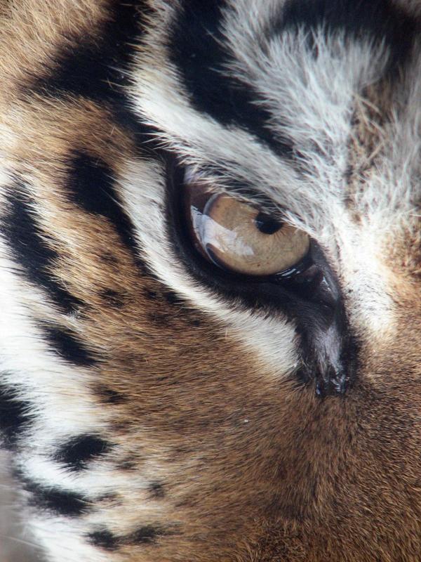 tigrisszem.jpg